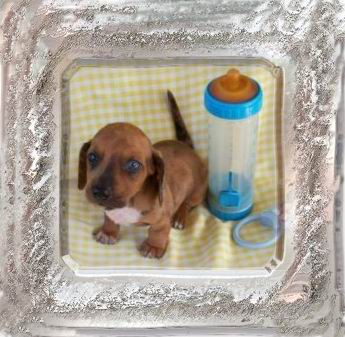 Dawn's Dachshunds & Yorkies - Amite, Louisiana (985) 747-0642